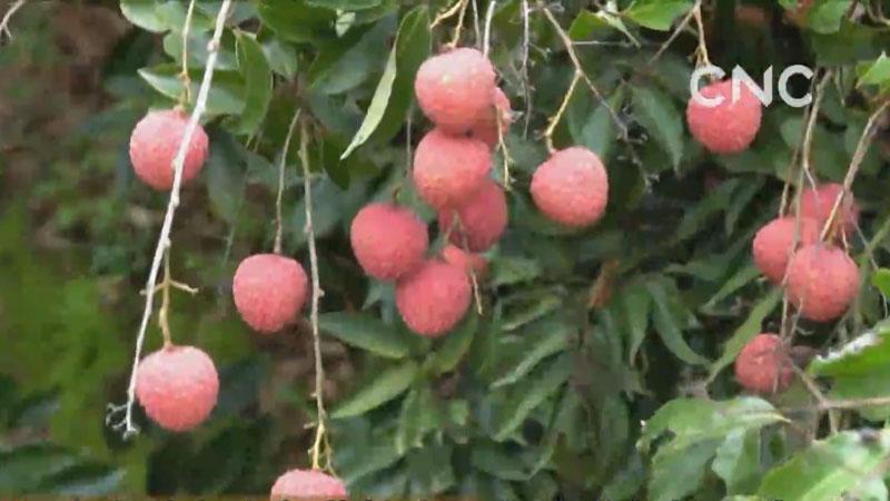 視頻|廣東茂名今年荔枝出口貨值增長超七成