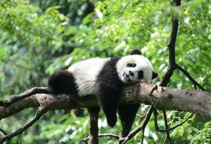 動畫電影《我從中國來之熊貓泰山》啟動 講述旅美熊貓明星泰山的故事