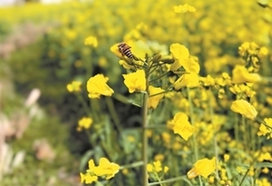 梅州黃花村油菜花已盛開