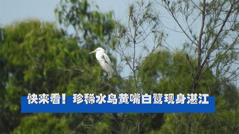 快來看!珍稀水鳥黃嘴白鷺現身湛江