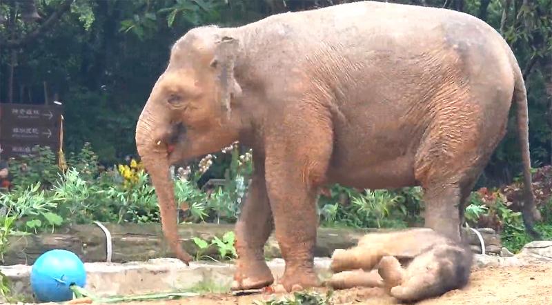 再添新丁!廣州亞洲象家族喜迎第三代