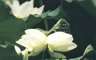 荷花中的珍品!廣州鹿湖公園現白色並蒂蓮