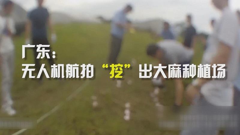 """廣東:無人機航拍""""挖""""出大麻種植場"""