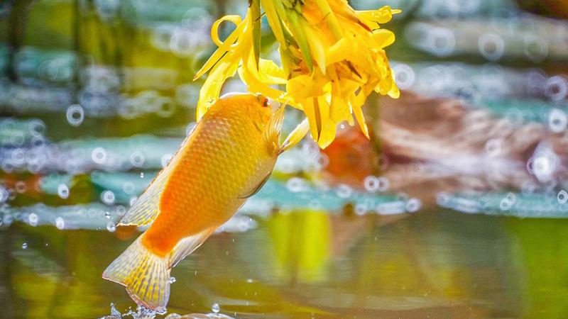"""美!""""魚吃花"""" 畫面生趣靈動"""
