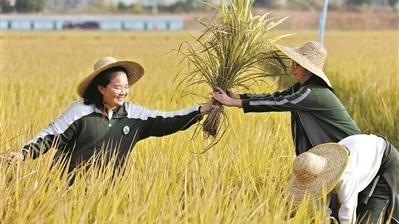 東莞茶山晚稻開鐮收割