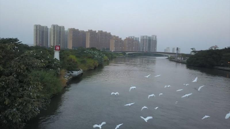 """飛""""閱""""廣東中山 看白鷺成群翩飛起舞"""