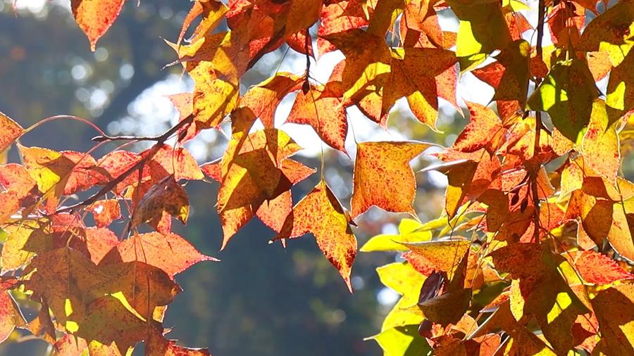 紅葉似火 廣州從化,你怎麼這麼好看?