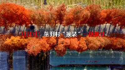 """紅紅紅!落羽杉""""換裝""""一路飄紅"""