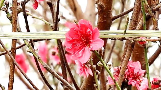 羊城桃花俏迎客 快來聽花語、看花開