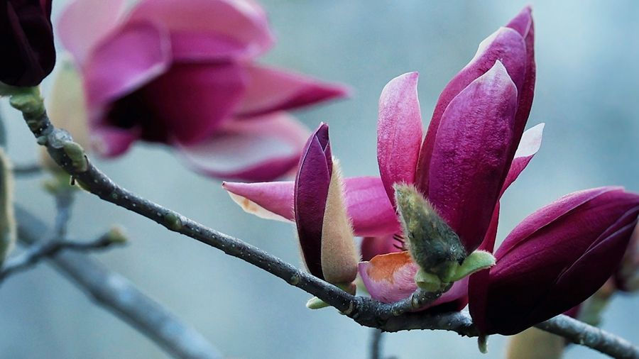 直播大灣區丨這是春天的氣息!玉蘭花開芳香怡人