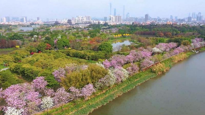 直播大灣區丨宮粉紫荊盛放 來赴一場春日粉色之約