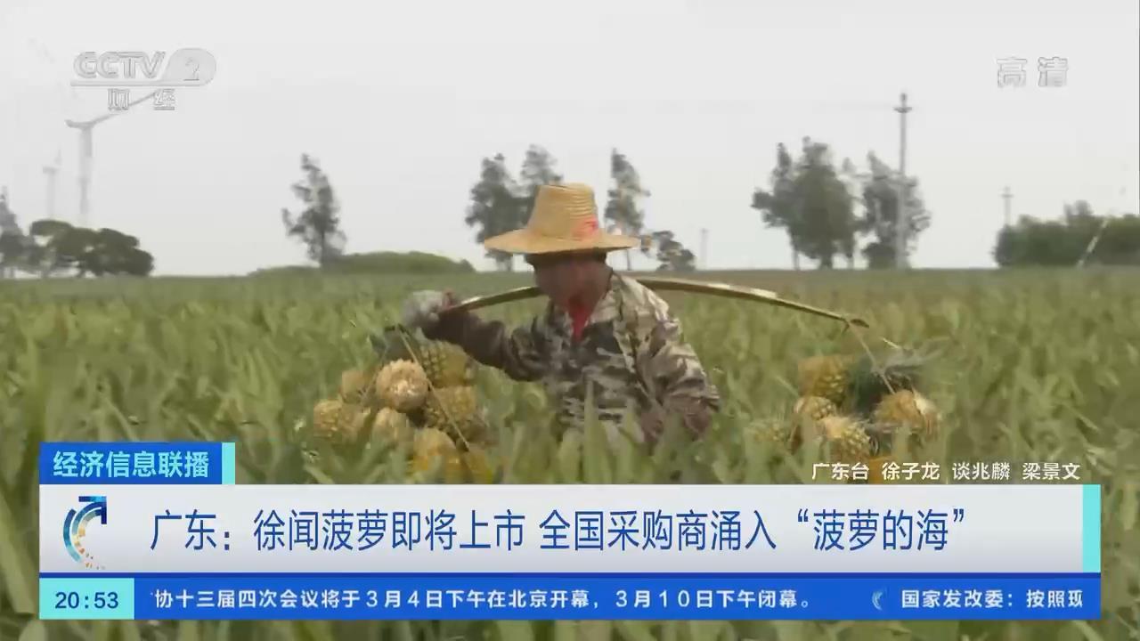 """廣東:徐聞菠蘿即將上市 全國採購商涌入""""菠蘿的海"""""""