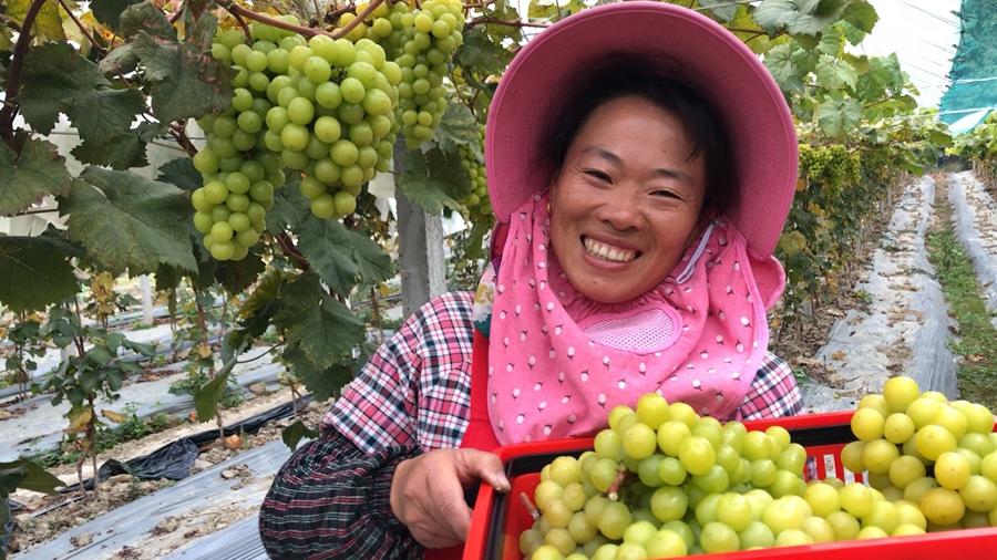 直播大灣區丨碩果累累!葡萄園裏喜豐收 帶富種植戶