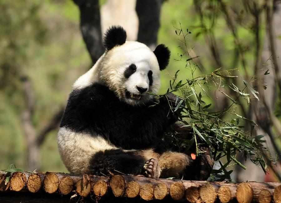 济南动物园内两只雅安大熊猫获昵称