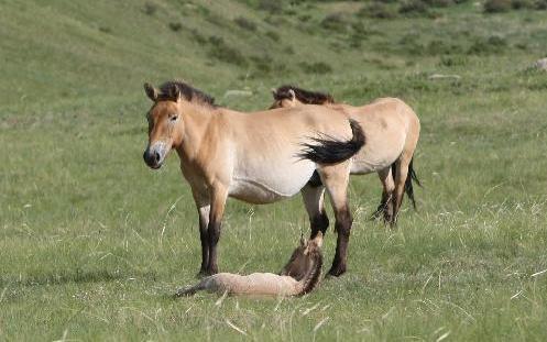 蒙古国野马数量不断增加图片