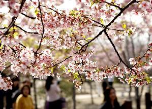 上海櫻花節即將開幕